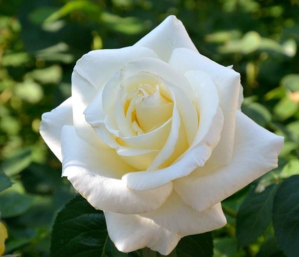 Chopin роза фото