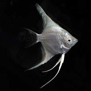 platinum manfish