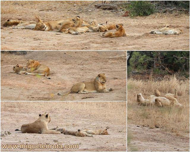 Leones-Satara-Kruger