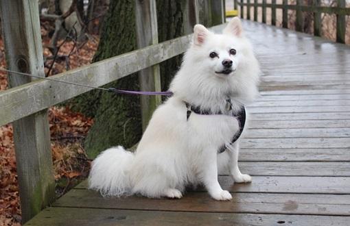كلب الاسكيمو الامريكي اجمل انواع الكلاب