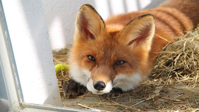 Red fox - Renard roux - Raposa-vermelha Animal
