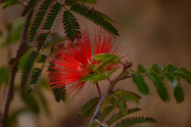 calliandra californica, baja red, baja fairyduster, desert garden, small sunny garden, amy myers