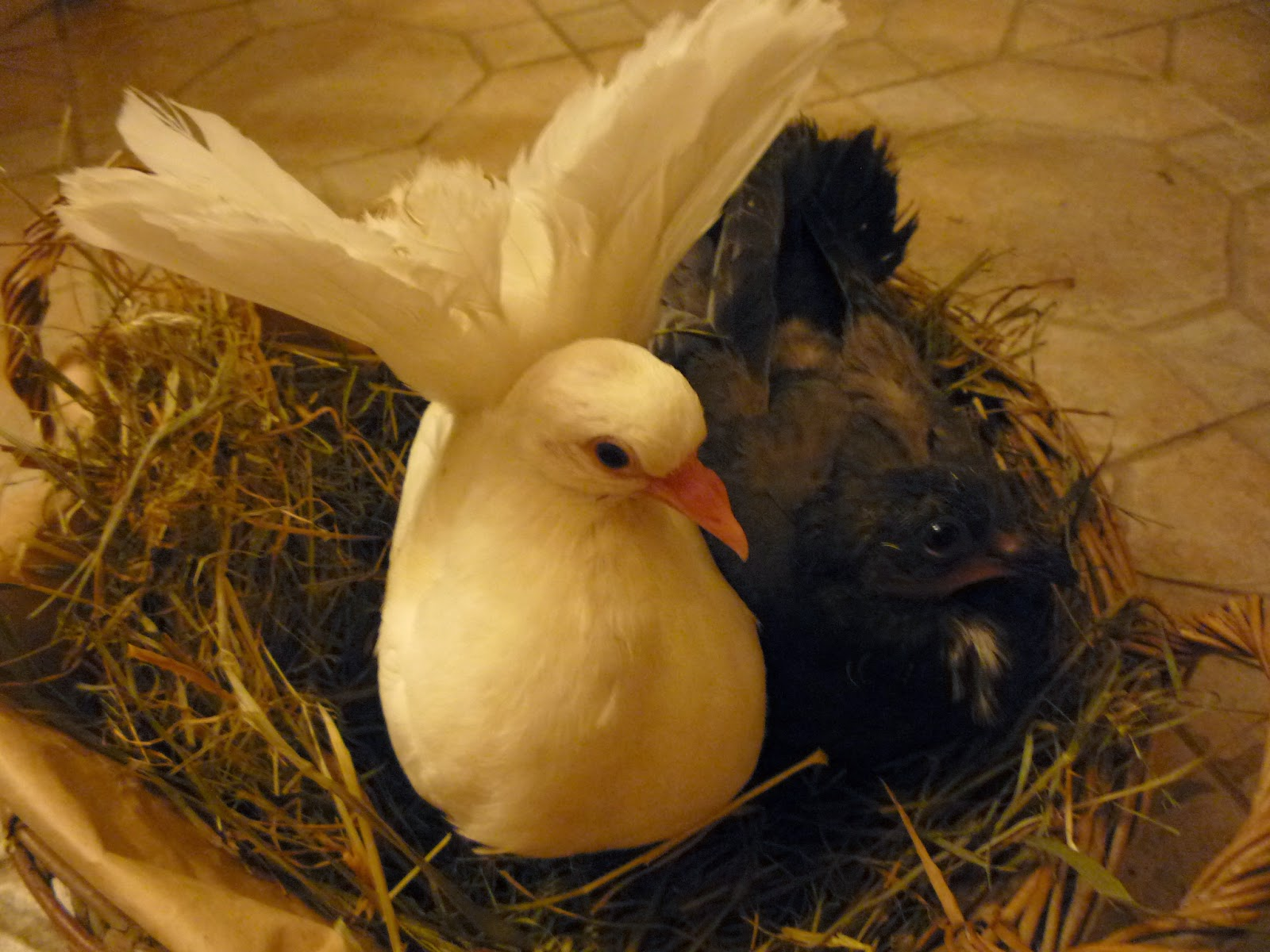 Two orphaned fantail pigeons