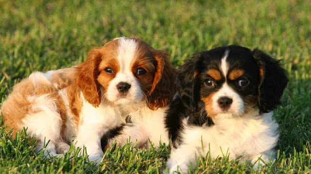 Cavalier King Charles Spaniel is not a hypoallergenic dog breed