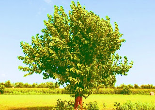 What does a mulberry tree look like