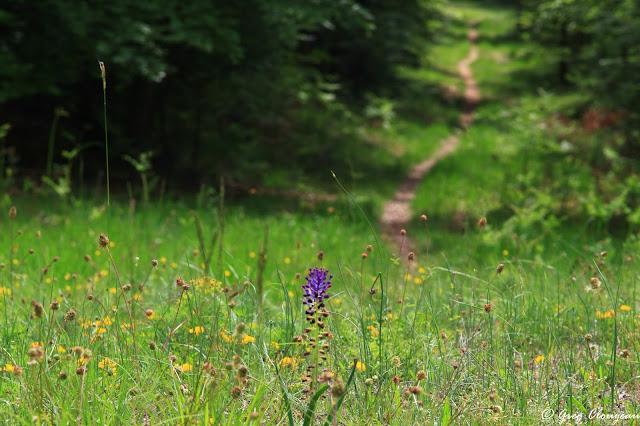 Muscari à toupet (muscari comosum ) en forêt de Fontainebleau