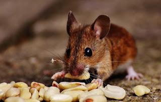 تفسير حلم رؤية الفئران في المنام ابن سيرين
