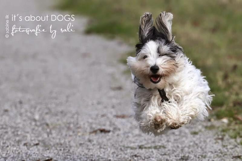 Biewer Yorkshire Terrier Lotta im Sturzflug