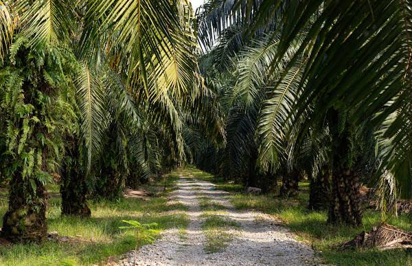 Daftar Istilah Dalam Perkebunan Kelapa Sawit di Indonesia