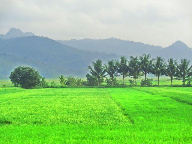Pemandangan Sawah, Tanaman Padi Hijau, Pohon Kelapa, dan Gunung