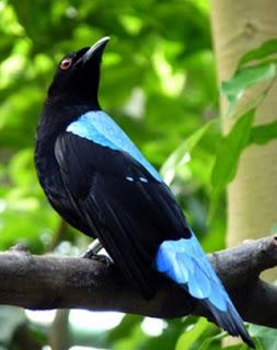 Ciri Fisik Burung Cucak Biru Jantan Dan Betina Paling Akurat