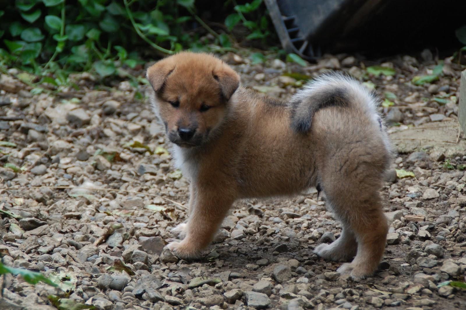 The Nihon Ken Raising Shikoku Puppies