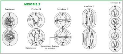 Proses Pembelahan Meiosis II - berbagaireviews.com
