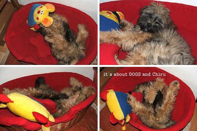 Tibet Terrier Chiru und sein Kuscheltier Kasimir