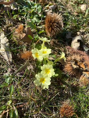 [Primulaceae] Primula vulgaris – {Primula comune}