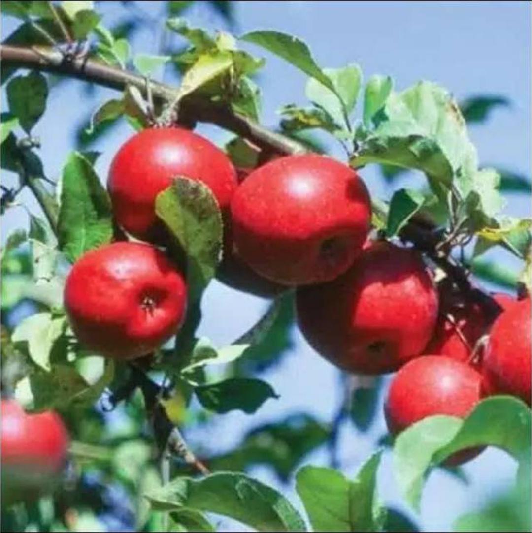 Pasti Puas! Bibit Tanaman Buah apel anna berkwalitas dan murah Kota Bekasi #jual bibit buah buahan