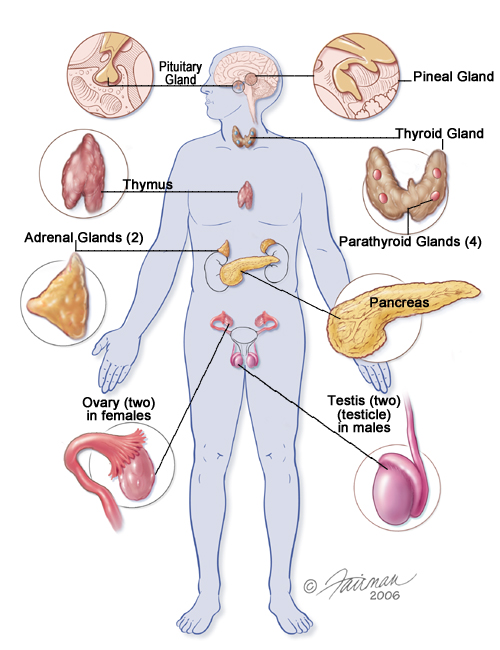 endocrine organs - photo #10