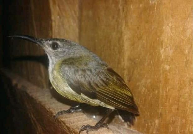Cara Membedakan Burung Kolibri Black Sunbird Jantan Dan Betina