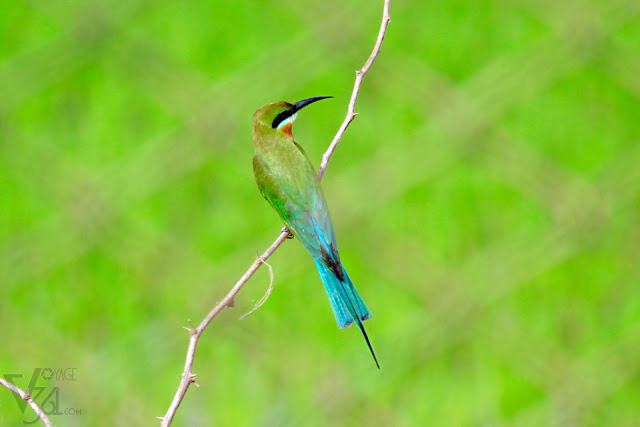 Blue-tailed Bee-eater(23–26 cm) - Davangere