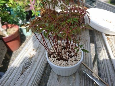 ハゼノキ 櫨の木 ミニ盆栽