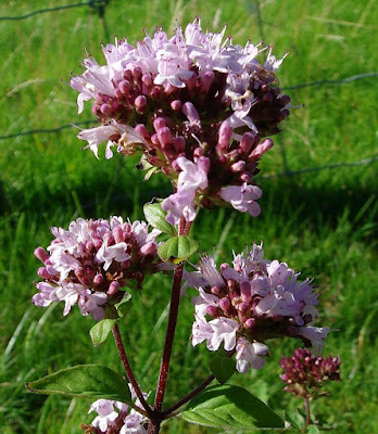 Marjoram providing nectar in the summer