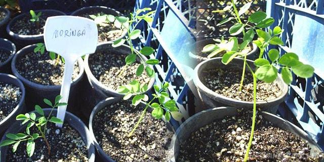 saksıda moringa ağacı fidanı - www.kahvekafe.net