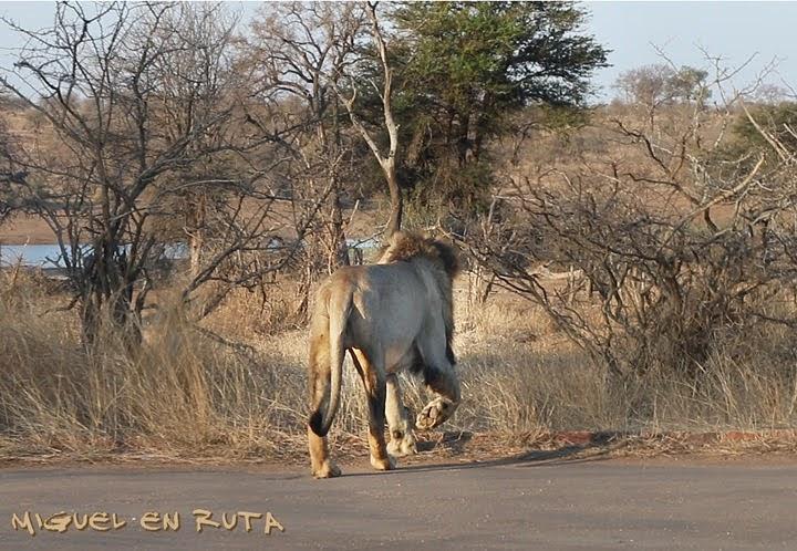 León en Nsemani Dam, Kruger