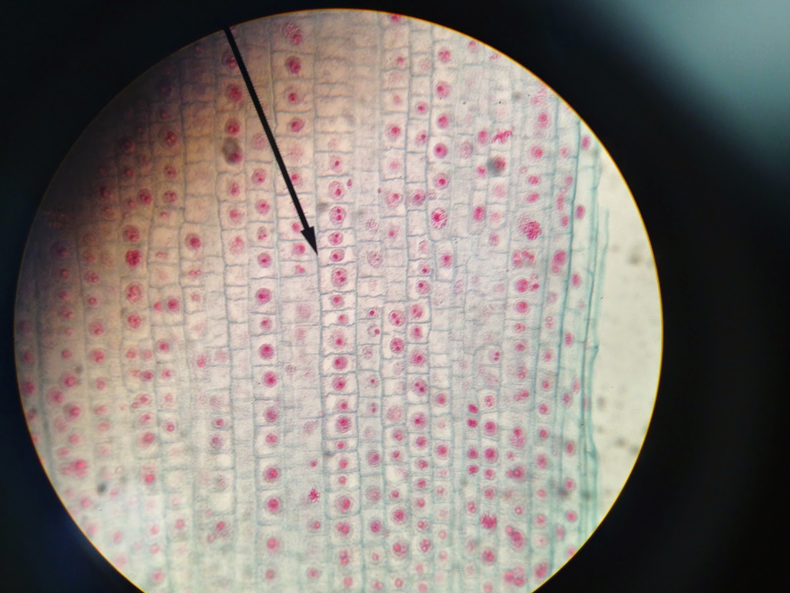 onion root tip diagram 2 pin flasher relay wiring biology honor labs mitosis lab report