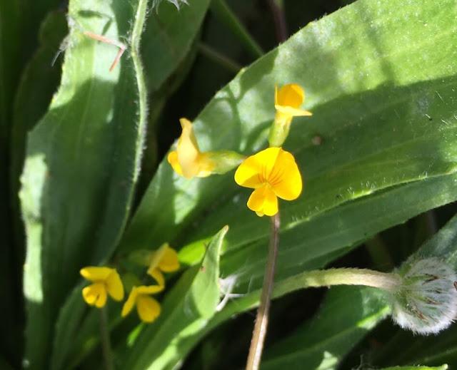 Cornilhão -  Scorpiurus muricatus - Flores Silvestres