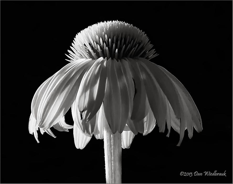 Cone flower macro ir ann arbor michigan