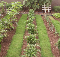 A ROW OF JALAPENO PLANTS