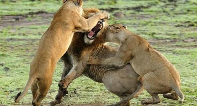 0f30e64d69132b Ayılar, kurtlar, aslanlar ve insanlar gibi yırtıcı türler kesinlikle ilk  yok olan türler olacaktır. Çünkü çıkacak ilk savaşta grupların önderliği bu  ...