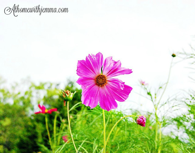 Signs of Summer, cosmos, blooms, bright, happy, garden, decorating
