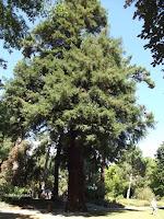 Sequoia coast redwood - Christchurch Botanic Gardens, New Zealand