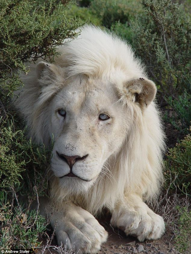 White lion in africa