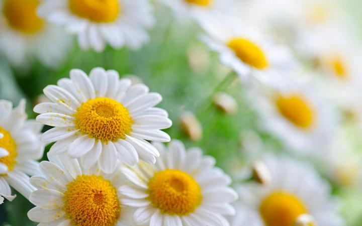 paptya çiçek resimleri
