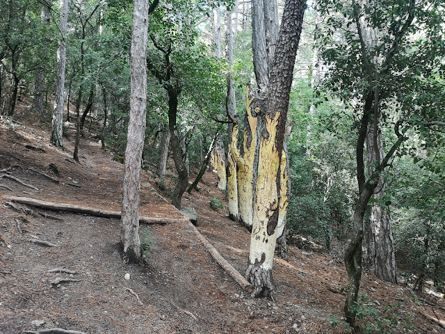 peu de rata bosc pintat poblet