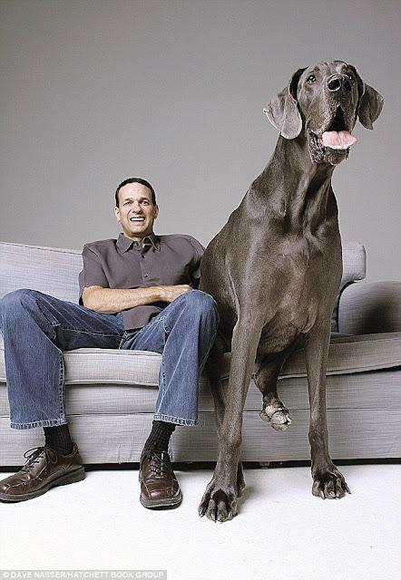 Ο Γιγάντιος George: Ο Μεγάλος Δανός από την Αριζόνα έχει ύψος 1,09 μέτρων και ζυγίζει 111,13 κιλά.