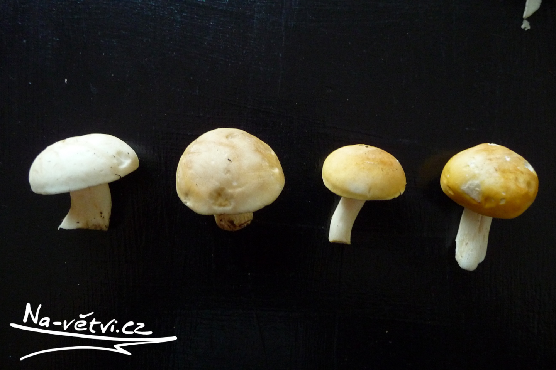 májovky