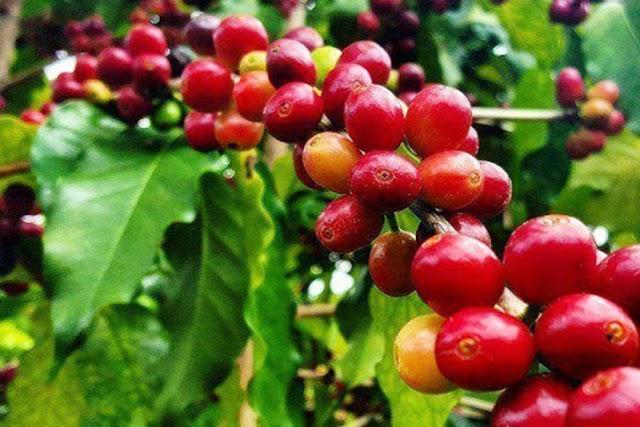 Giá cà phê hôm nay 8/8: Giảm từ 100 đến 200 đồng/kg