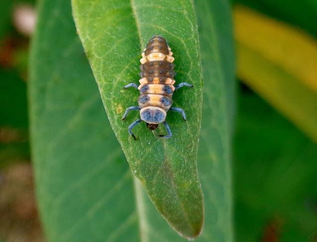 Ladybug Larvae on Milkweed