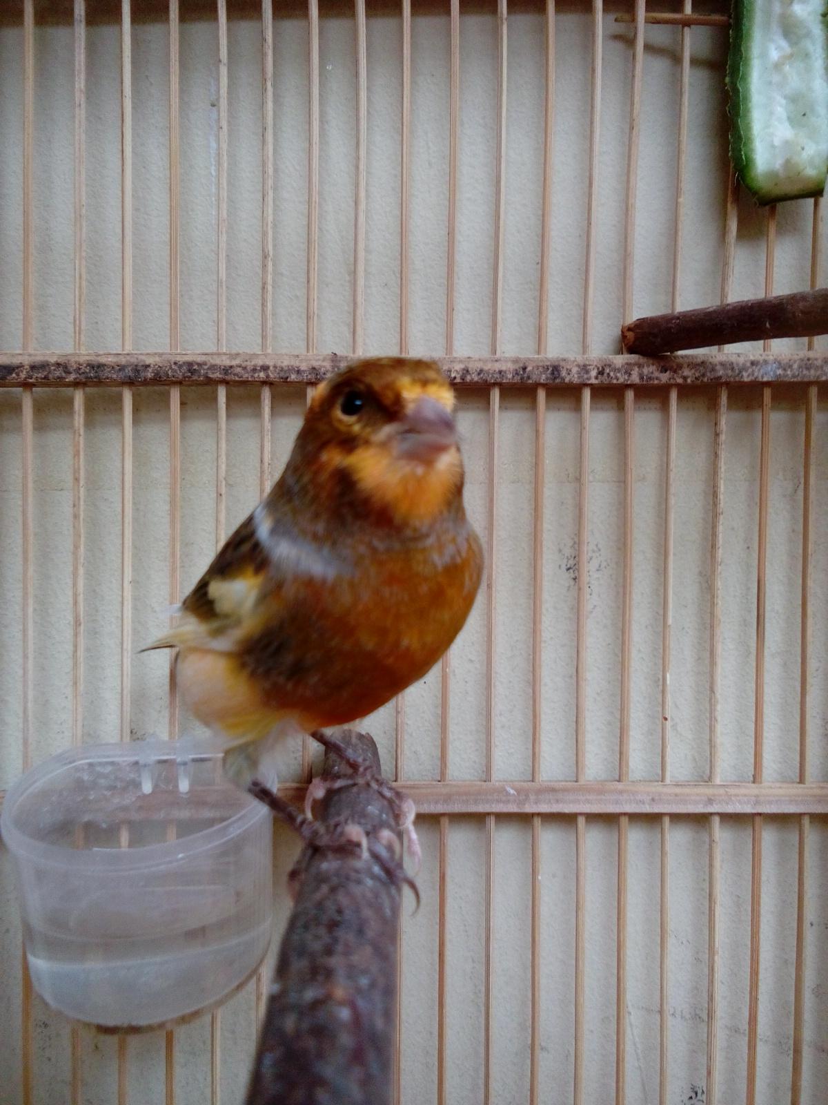 Beli burung kenari jantan terlengkap & berkualitas harga murah september 2021 terbaru di tokopedia! Harga Burung Kenari Warna Bon - Syurat e