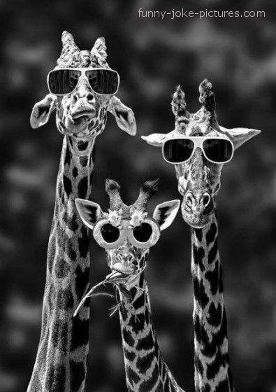 Funny Californian Giraffes Joke Image