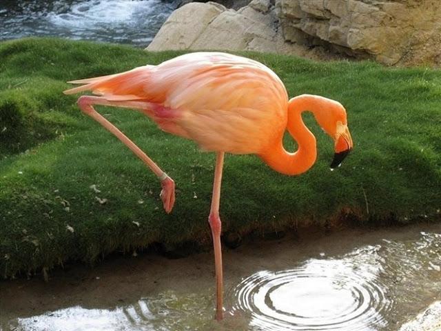Chim hồng hạc hoang dã có màu hồng vì chúng ăn chủ yếu là tảo và côn trùng, in hồng hạc