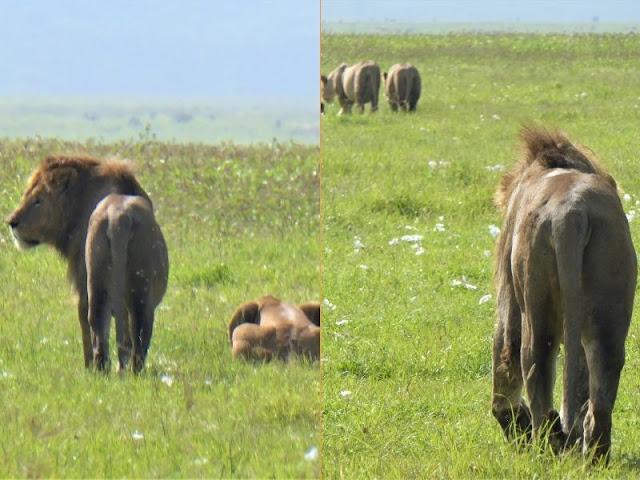 famiglia leoni nel cratere ngorongoro