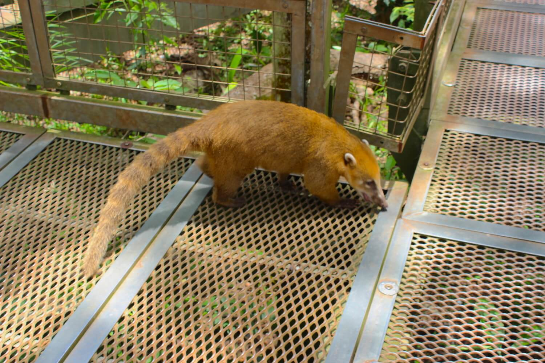 iguazu falls cute coatis