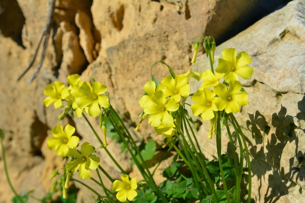 Mosta country side flowers