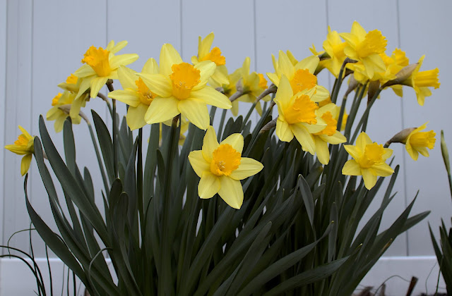 A cluster of daffodils with most flowers in bloom