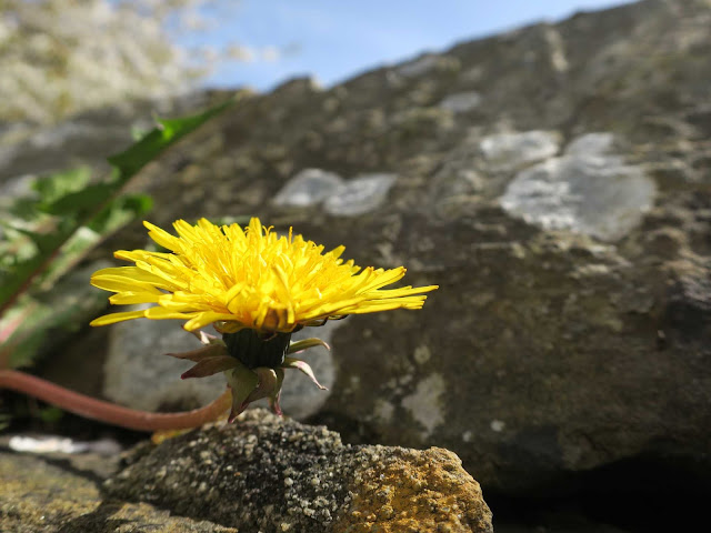 Dandelion in flower on wall with blossom in background.