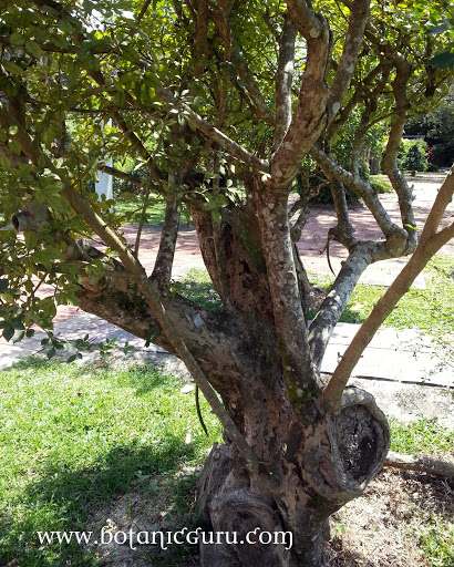 Parmentiera cereifera, Candle Tree tree
